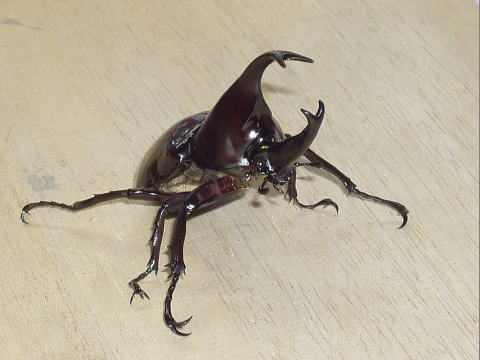 鳴く カブトムシ
